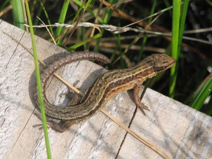 commonlizard